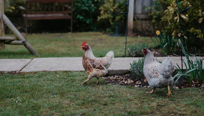 Chickens in Blenheim care home